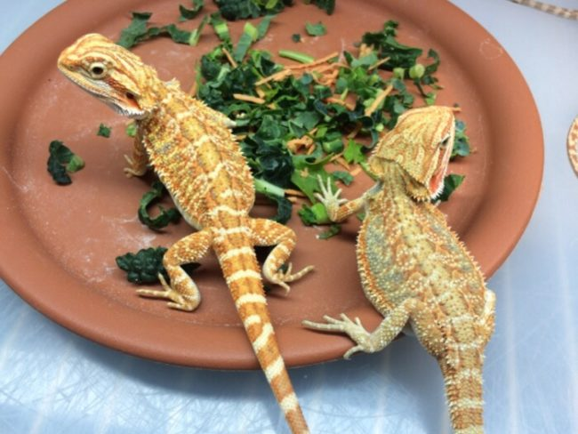 Bearded Dragon Care | SECA Reptiles